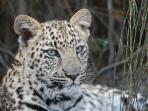 Can a Leopard change his spots? Find out at Tenikwa