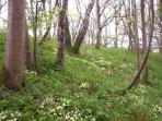 Spring in Garlieston woods