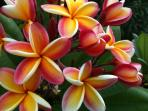 Fragrant plumeria from our gardens...