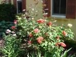 Old roses in bloom
