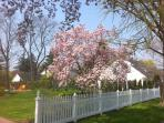 Our Magnolia in spring