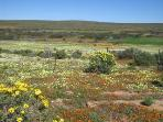 August Spring Flowers in late July in the Cedarberg - 2 Hours north of Cape Town