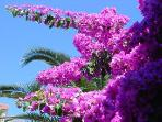 The bugenvillea