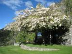 The Cherry tree offers shade in the summer