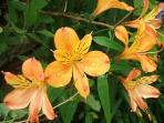 11. Lilies