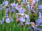12. Irises