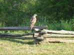 The closest I dared go to avoid disturbing this majestic hawk at one of our overlooks. Thrilling!