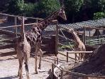There are giraffes at Selwo ......