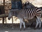 There are zebras at Selwo .....