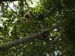 Trekking at 'Khao Yai National Park' Spot a white handed gibbon and her baby