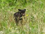 Black Bear Cub near momma bear, munching on dandelions too in Kootenay National Park