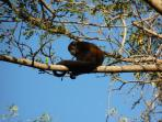 Howler Monkey near condo