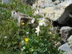 Wild Flowers Columbine