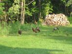 Wild turkeys, songbirds, deer, woodchucks, chipmunks--our companions in the country.