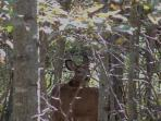 Whitetail Deer Abound