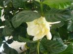 Maybe our gardenia will be blooming when you are with us,