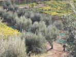 The Olive Groves during the olive gathering