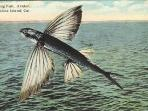 old flying fish postcard