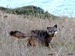 Catalina Island Wild Fox