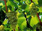 And its vineyards