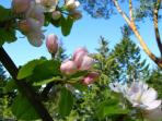 Apple blossoms in the spring, bring beautiful apples in the fall.