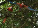 See scarlett macaws flying in the sky (Picture by Randal Ortega)