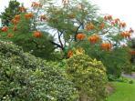 Colvillea tree in blossom