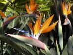 Bird of Paradise in bloom
