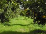 The path in the orange groves.