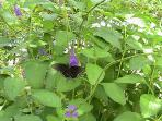 Poolside butterfly bush