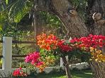 Bougonvillia in the Garden