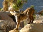 Bobcat visitor