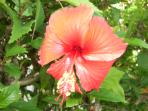 Beautiful hibiscus available for picking