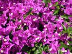 And more gorgeous bougainvillea