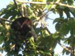 Howler Monkey at Casitas Calinas