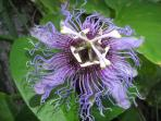 Passionfruit Flower in front of Casita Bonita