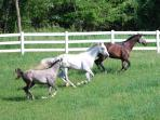 Horses running across their summer pature.  Your vacation in the country will be remembered by all!