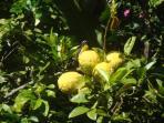 Bananaquits and lemon
