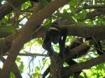 Howler Monkey - frequent visitors to the condo grounds