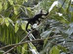 White-faced monkeys visit daily (from bar terrace)