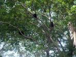 a troop of mono congos sleep in our trees