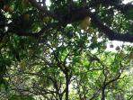 Canopy of fruit trees on outdoor dinning table