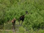 Mama moose and baby in the area