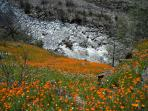 Hike along the Merced River surrounded by poppies.