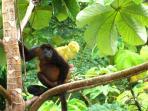 monkeys----howlers
