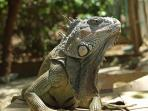 Iguanas - No trip is complete without a visit to the Iguana Farm!