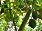 Stroll on nature trails through gardens of tropical fruit trees at Stonegaerden Cottage