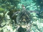 Sea Turtle seen while snorkeling on the amazing reefs