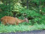 Deer eating along side of road