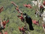 Tui feeding on flax flowers